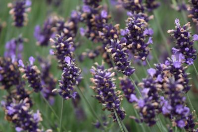 Lavender, Sequim, Olympic Peninsula