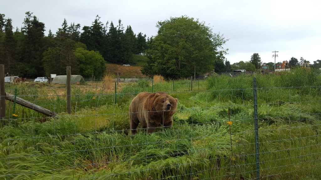 Bear, Game Park, Sequim