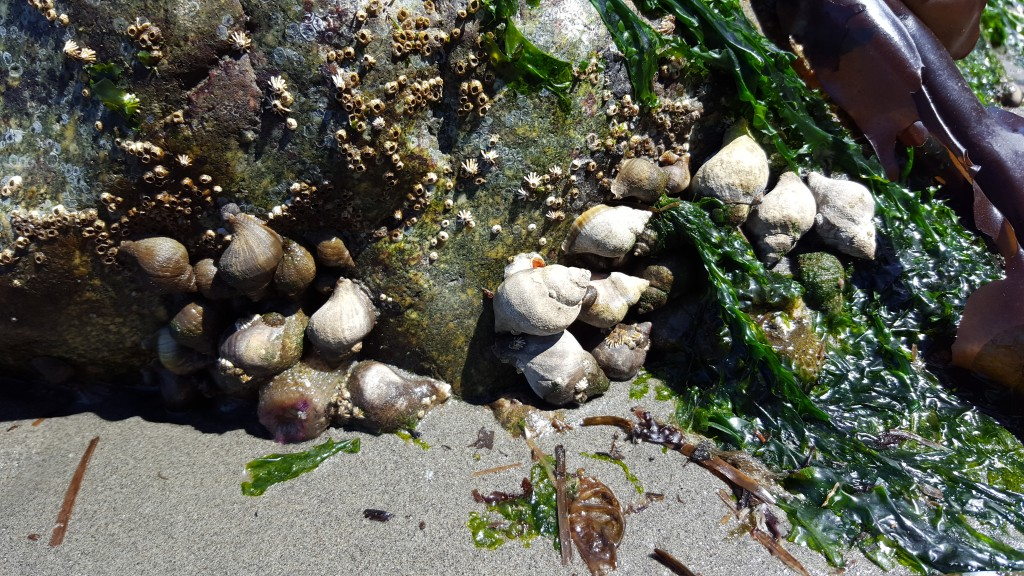 Snails, Seaweed, Beach, Olympic Peninsula