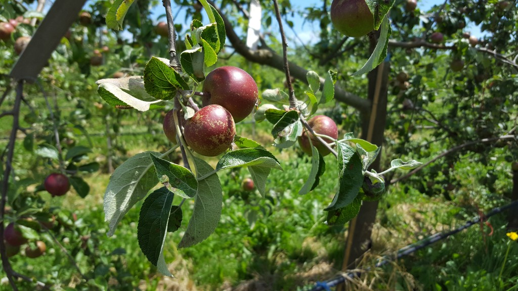 Apples, Orchard, Farming, Olympic Peninsula, Cider