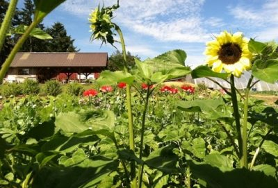 Farm, Sunflowers, Olympic Peninsula
